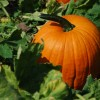 What lurks Behind the Jack-O-Lantern – Health Benefits of the Pumpkin
