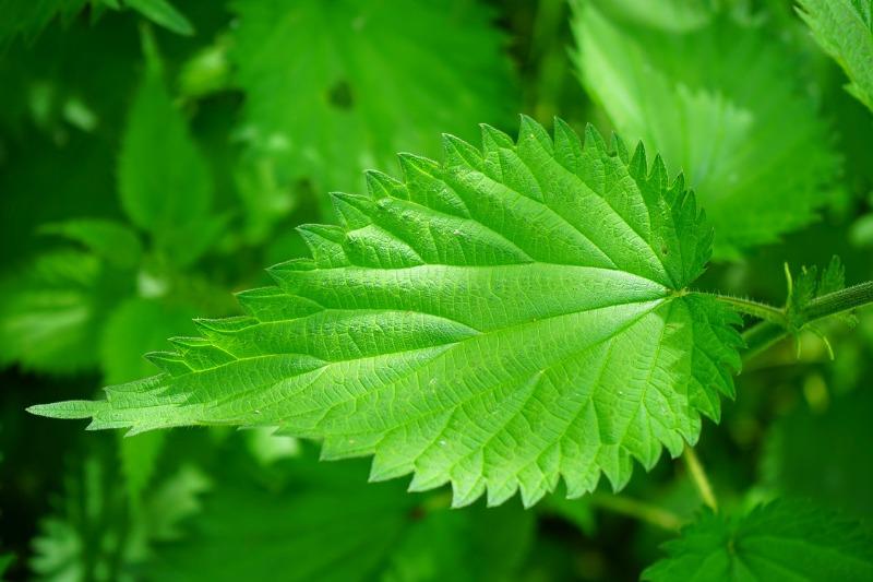 stinging nettle CU Leaf