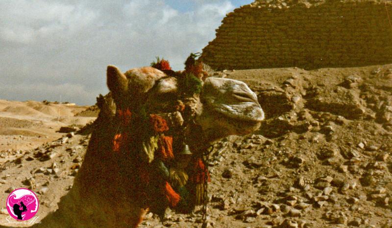 Camel by Pyramids